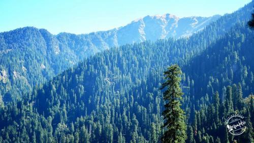 Chandrakhani pass - Pine Forest