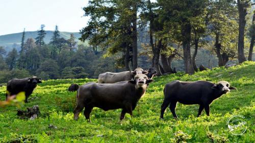 Trek To Bhrigu Lake  -  Buffaloes in Himalayan Grasslands