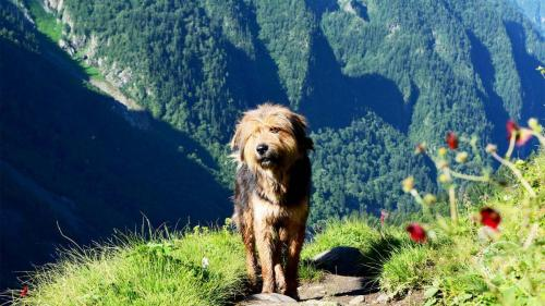 Chandernahan Lake - Himalayan Sheepdog