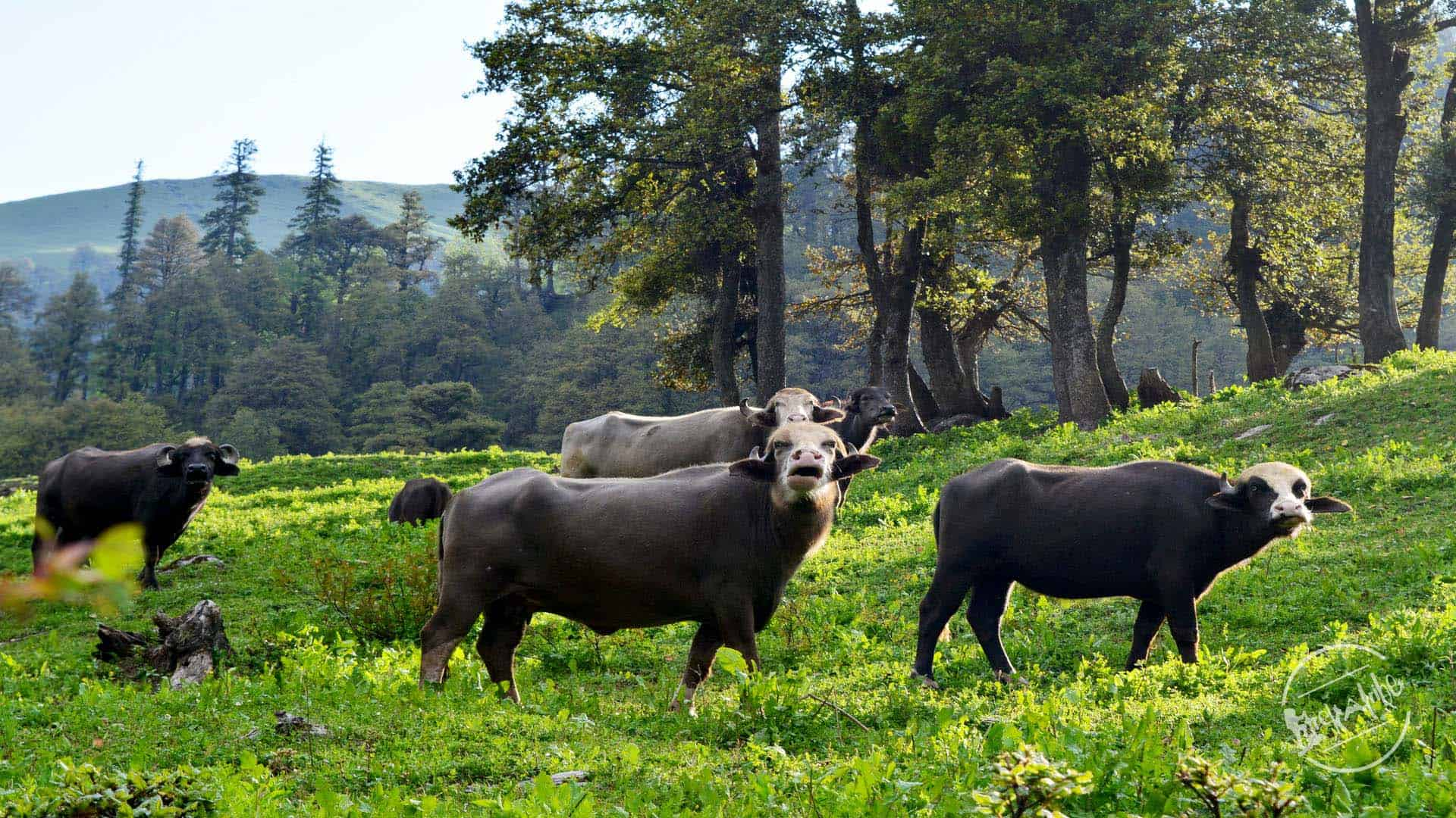 Trek to Bhrigu Lake - Bufflow Grazing in himalayan grasslands