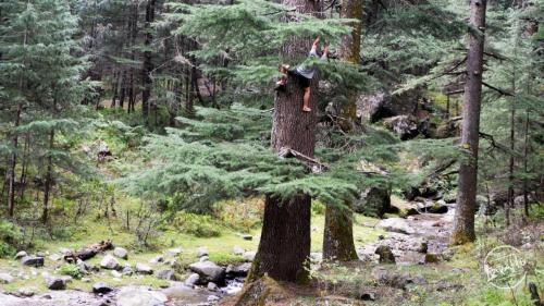 Deodar Tree Climbing