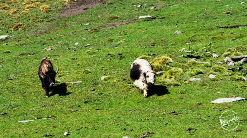 Himalayan Yaks at High Altitude Grasslands - Rupin Pass