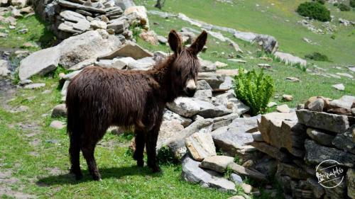Himalayan Hippie Donkey