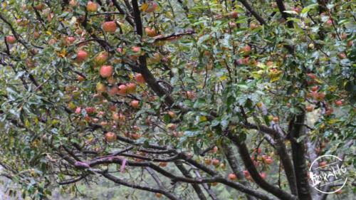 apple country (1)