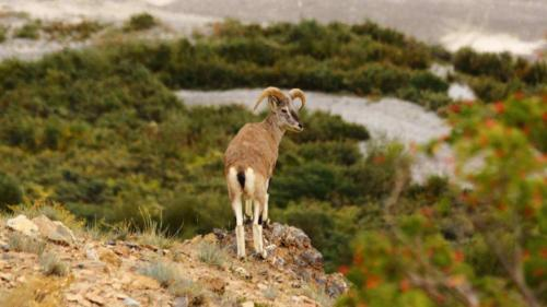 Bharal, also called the Himalayan blue sheep or naur (3)