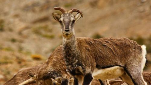 Bharal, also called the Himalayan blue sheep or naur (4)