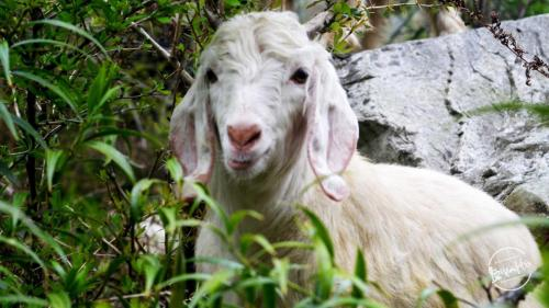 himalayan goat - grahan