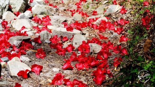 grahan trek - rhododendron flowers