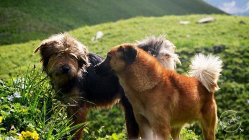 Chandernahan Lake - himalayan Dogs