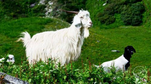 Chandernahan Lake - Himalayan Goat