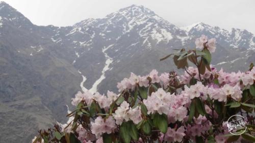 Pink Rhododendron enroute Yulla Kanda trek