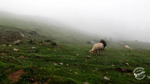 Sheeps Grazing En-route Prashar Lake